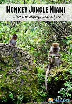 Monkey Jungle Miami Florida, where the monkeys roam free and the humans are caged!