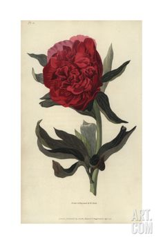 Double Red Peony, Paeonia Officinalis Rubra Plena Giclee Print by William Clark at Art.com
