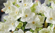 Narcissus Paperwhite, Daffodil Paperwhite, Daffodil ''Paperwhite', Tazetta Daffodil ''Paperwhite', Spring Bulbs, Spring Flowers, fragrant daffodil, daffodil for indoor forcing