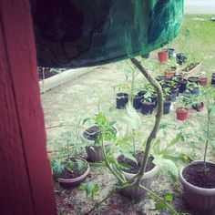 Trying a Tospy Turvey tomato planter