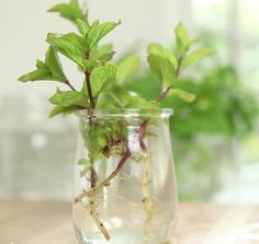 How to Clone Herbs in Your Kitchen