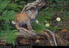 Bobcat Lynx rufus kitten, 4 wks old, spring, Rocky Mtns, North America.