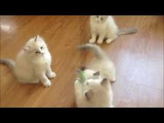 Ragdolls Gatos Bogota Animals, Gatos, Colombia, Pets, Home, Cats And Kittens, Animales, Animaux, Animal
