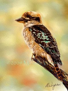 kookaburra native to Australia