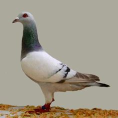 Gier Pigeon (Silver Barred)