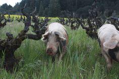 a bio-dynamic farm we love to eat and drink from #prestonofdrycreek.com