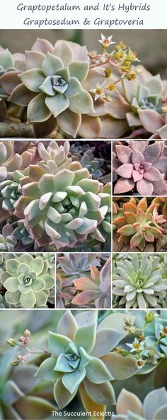 Species Spotlight ~ Graptopetalum & Hybrids Graptopetalum and its gybrids graptoveria and graptosedum are among the easiest and fastes succulents to grow and propagate. Learn all about how to grow them and how to distinguish between them and the echeveria Colorful Succulents, Colorful Garden, Cacti And Succulents, Planting Succulents, Succulent Names, Succulent Landscaping, Succulent Gardening, Wholesale Succulents, Ghost Plant