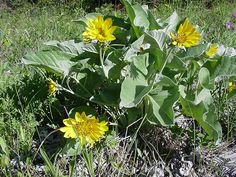This is the arrow leaved balsamroot. It is completely edible and can be made into meal or dried/stored.