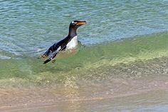 Gentoo Penguin in the Surf