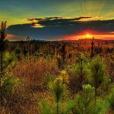 Сосна: посадка сосны, выращивание и уход