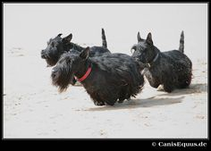 Racing Scotties! Looks like their feet just disappear and they're hovering over ground. :)