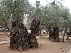 Jerusalem Gethsemane Garden - Israel