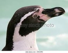 Image result for african penguin head African Penguin, Penguins, Animals, Image, Animales, Animaux, Penguin, Animal, Animais