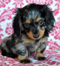 mini long-haired daschund DREAM DOG