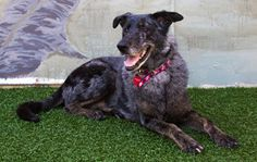 Frida is an adoptable Cattle Dog Dog in Baton Rouge, LA. Meet Frida. She's a very gorgeous girl between 2-3 years old who weighs 62 pounds. We believe Frida is a GSD / catahoula or cattle dog mix. Fri...