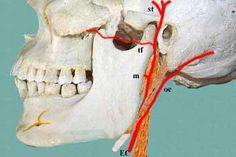 Deep to the nerves lies the arterial plane which includes terminal parts of the external carotid artery and its branches: external carotid artery (EC) occipital artery (oc) maxillary artery (m) transverse facial artery (tf) superficial temporal artery