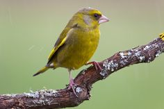 Greenfinch (Carduelis chloris) by redsoul #animals #pets #fadighanemmd