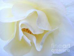 Demure White Rose