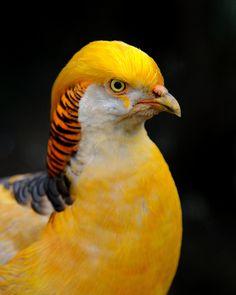 Golden Pheasant Bird - Exotic Birds - Photo by Saffron Blaze