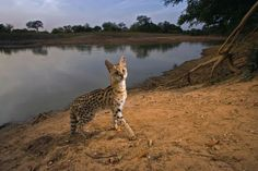 On Patrol Photograph by Michael Nichols, National Geographic Creative