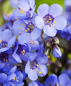 """Jacob's Ladder """"Heaven Scent"""" shade perennial"""