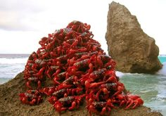 "Christmas Island Crabs ""When the wet season blows into Christmas Island each year, millions of Christmas Island red crabs hike for several days, from a high rain forest plateau down to Indian Ocean beaches, where the crabs mate in burrows."""