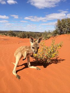 Kangaroo Sanctuary - Alice Springs