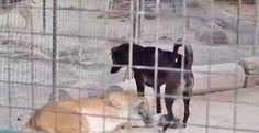 """""""O GRITO DO BICHO"""": Motivo de uso de cães em jaulas e ambientes com fe..."""