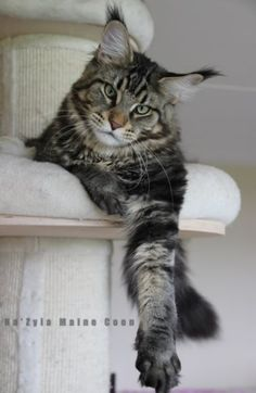Forside - MainecoonNazyia