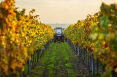 Needing ideas for some weekend adventures? The Hands-on Harvest Festival in the Robertson Wine Valley has you and the family covered. Grape Picking, To Do This Weekend, Harvest Season, Dogs And Kids, Dog Friends, Wine Tasting, Spotlight, Vineyard, Country Roads