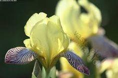 Kuvahaun tulos haulle iiris kukka