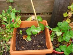 Growing your own sweet potatoes is such fun and it can be done in a small garden in a container. Veg Garden, Garden Beds, Diy Planters, Garden Planters, Sweet Potato Plant, Growing Sweet Potatoes, Potato Vines, Garden Projects, Gardening Tips
