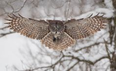 Great Gray Owl, the wingspan is up to 1.5 meters (5 feet).