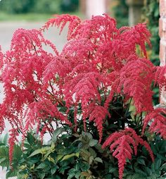 Red Ostrich Plume Astilbe
