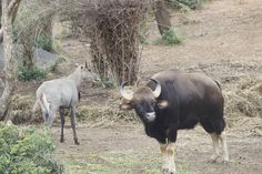 Indian Wild Buffelo