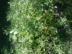 More red cherry tomatoes!  7-14-13