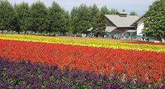 Farm Tomita, Naka Furano, Hokkaido, Japan. Budget travel guide at http://www.cheapojapan.com/naka-furano/ #lavender #flowers #furano