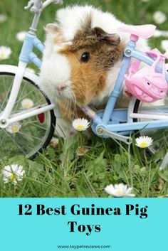 Guinea pigs are intelligent and they actually enjoy playing with objects and interacting with humans! Below is a list of the 12 best guinea pig toys you could buy your little furry friend! In our… Guinea Pig Food List, Pet Guinea Pigs, Guinea Pig Care, Guinea Pig Information, Rabbit Habitat, Pet Insurance Reviews, Life Insurance, Guinea Pig Accessories, Baby Hamster