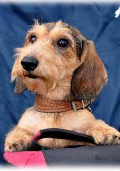 """Being owned and touched by the heart of a wirehaired doxie is truely one of life's many pleasures! I Love my little guy """"Odie""""."""