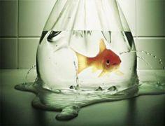 The Gold Fish | Quando era criança sempre quis ter um peixinho dourado num pequeno aquário em casa. Diversas tentativas sempre terminaram em choro mesmo tentando ao máximo fazer o meu melhor. Papai e mamãe tentavam me ensinar como cuidar, alertavam sobre o que aconteceria e eu nunca ouvi. #planejamento #gestores #impostores #problemas