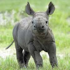 rhinoceros - Google Search