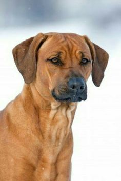 The Rhodesian Ridgeback, once known as the African Lion Hound, was developed in South Africa by Boer farmers. The farmers needed a versatile hunting dog who could withstand the extreme temperatures and terrain of the bush, survive when water rations were low, protect property, and be a companion to the entire family.