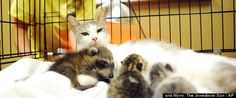 Mother Cat adopts baby raccoon as her own at Jonesboro Animal Control in Arkansas