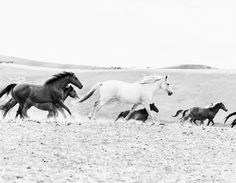 Black and white photograph of the wild mustang horses of America. Limited Edition eco-friendly and museum quality prints by @cardelucci available online