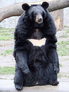 The Asian black bear is recognisable because of its white chest marking familiar among the breed