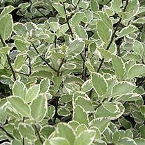 Shrub - Pittosporum 'Garnettii'  Pittosporum 'Garnettii' is a medium-sized evergreen shrub with grey-green leaves edged with cream, sometimes tinged with pink in winter. In late spring and early summer it produces clusters of deep purple flowers. It will grow in sun or partial shade, and the variegated foliage is perfect for brightening up a dull corner of the garden as well as providing evergreen structure throughout the year. Plant in a sheltered position in well drained soil.