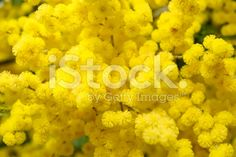 A Wattle Bloom in Soft Focus. This is a Black wattle . Image Now, Royalty Free Stock Photos, Bloom, Yellow