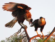 caracaras at sunrise adult (r) and immature