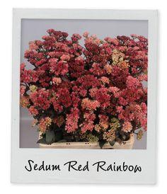 Holex Insights newsletter week 35 - Sedum Red Rainbow