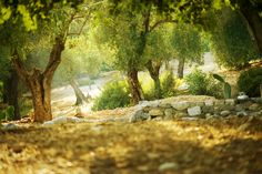 Find Olive Trees stock images in HD and millions of other royalty-free stock photos, illustrations and vectors in the Shutterstock collection. Thousands of new, high-quality pictures added every day.